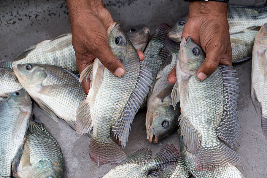 Close up view of tilapia fish in Jessore, Bangladesh. Photo by Yousuf Tushar. July 28, 2015