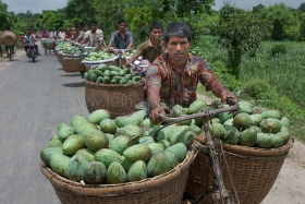 Farmers are carry mangoes