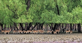 Deer in Sundarban