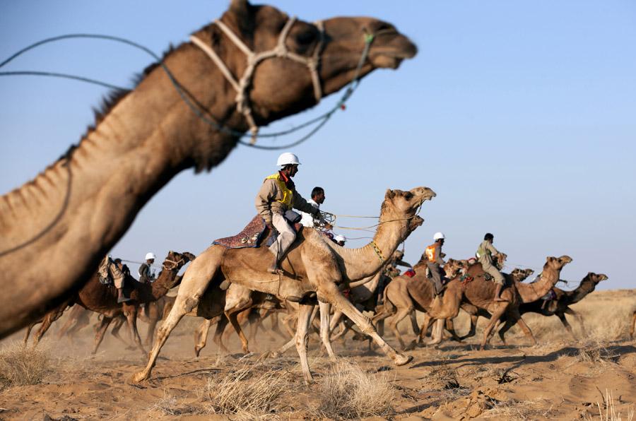 Camel race during the Desert Festival in Jaisalmer. india.