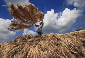 A Jute farmer