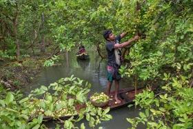 harvesting guava