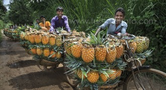 Farmers are taking pineapples
