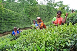 Women tea pluckers work at tea garden at Srimangal, Bangladesh. Tea is a major industry in Bangladesh and grows in the low hills of Chittagong and Sylhet. There are about 158 tea gardens with a total of 47,938 hectares under tea cultivation with yearly production of about 50 million kilos of tea. The industry provides employment to about 150,000 ethnic people with 500,000 dependants. Srimangal, Bangladesh. August 2008.