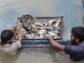 Farmers catching tilapia fish in Jessore, Bangladesh. Photo by Yousuf Tushar. July 28, 2015