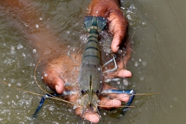The woman showing shrimp, which cached from his Gher in Khulna, Bangladesh. Photo by M. Yousuf Tushar. April 16, 2014