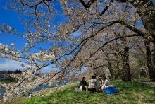 Cherry blossom or sakura festival at Kakunodate, Japan.